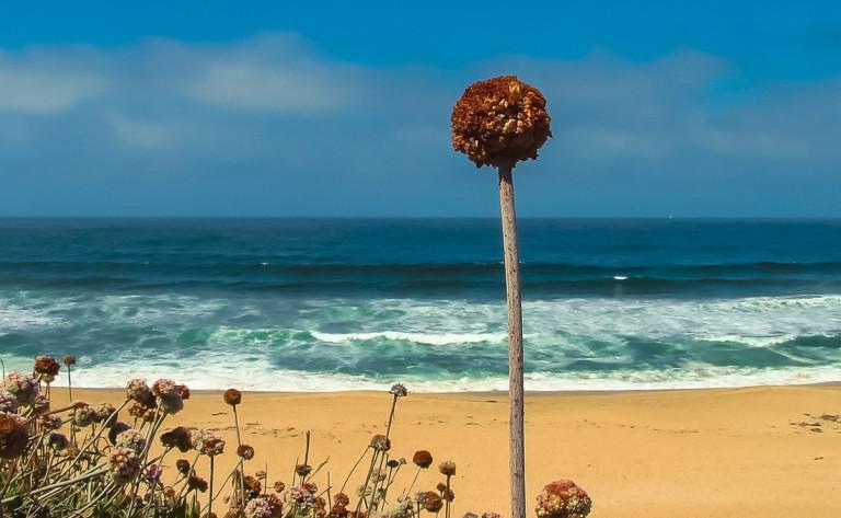 Montara Beach Single Flower