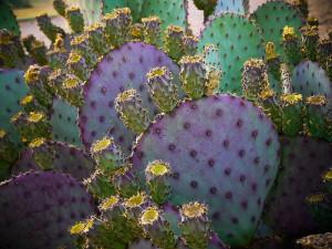 Arizona Purple Cactus Bunch