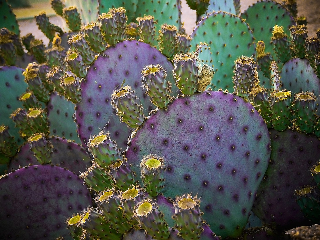 Arizona Purple Cactus Bunch