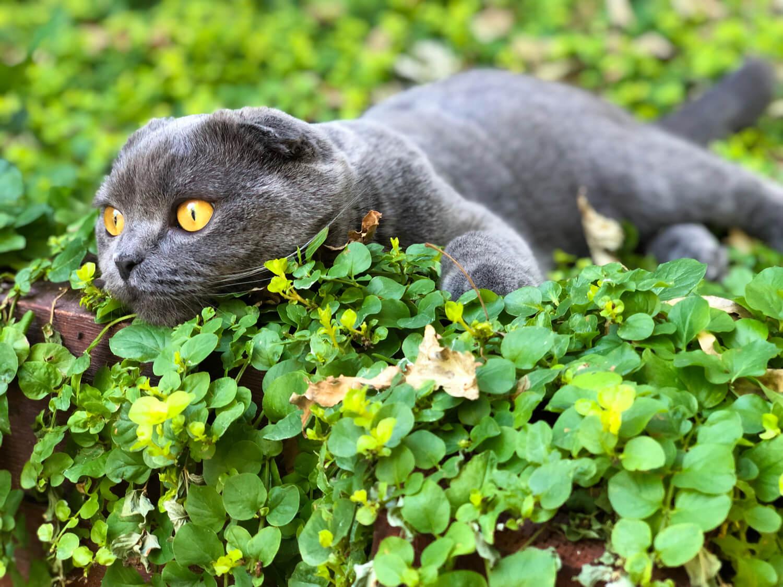 Finley the Scottish Fold Blue Cat